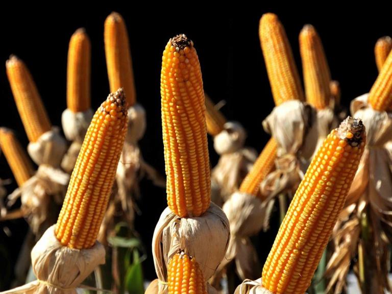 Pró-Milho RS promove novo seminário nesta quarta-feira para discutir o fomento à produção do cereal