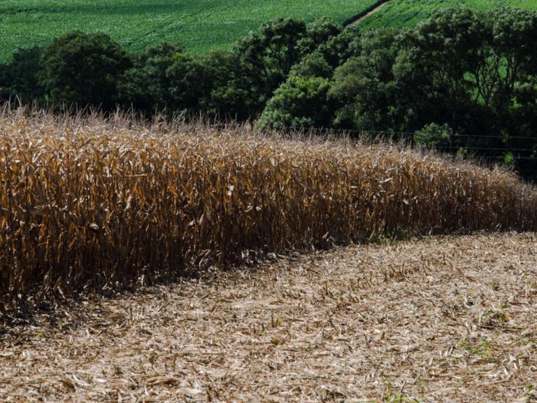 Pró-Milho RS: Estado tem condições de ampliar produção de milho em 2,7 milhões de toneladas sem acréscimo de área